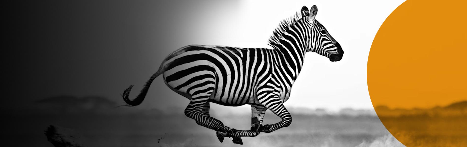 Species – Zebra
